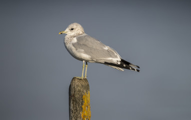 Common Gull standing on a post in the sea