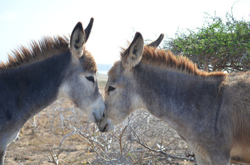 A Look at Romantic Donkeys Cuddling in Aruba