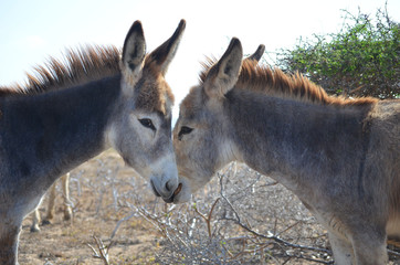 Two Donkeys in Love in Aruba
