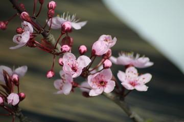 PRUNUS CERASIFERA/ `PISSARDII NIGRA`/cherry plum/myrobalan plum/This is branch of  ornamental cherry plum is popular in demand for its deep burgundy leaves, almost no maintenance.