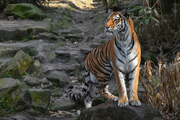 Siberian tiger stands alerted on the stone rock