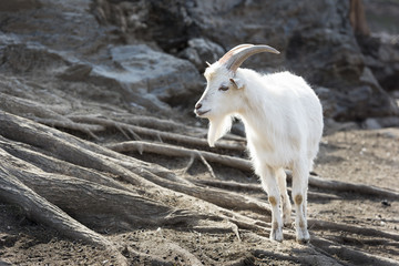 White Saanen Goat with Long Horns