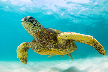 Endangered Hawaiian Green Sea Turtle Cruising in the warm waters of the Pacific Ocean
