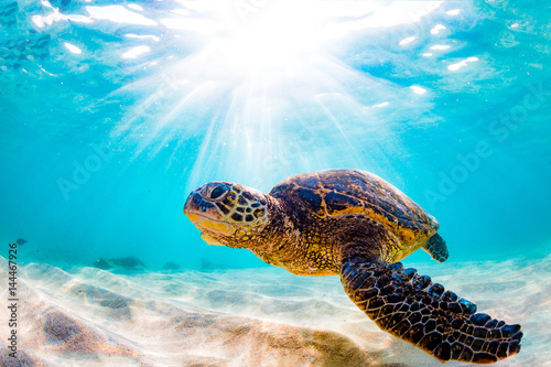 Wall mural Endangered Hawaiian Green Sea Turtle Cruising in the warm waters of the Pacific Ocean
