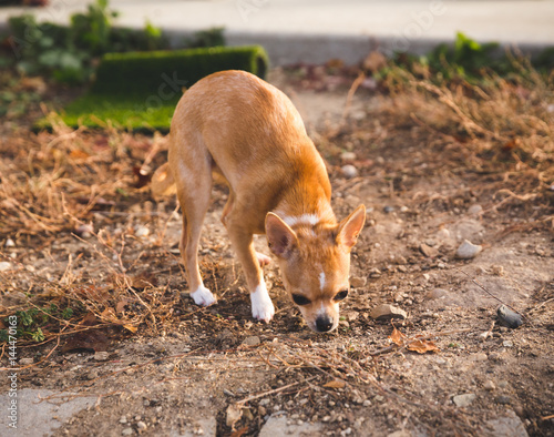 small orange dog sniffing patch of dirt photo libre de droits sur la banque d 39 images fotolia. Black Bedroom Furniture Sets. Home Design Ideas