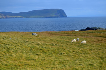Trio of Grazing Sheep at Neist Point in Scotland