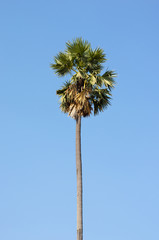 sugar palm tree beautiful with clear blue sky.