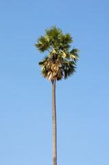 sugar palm tree beautiful with clear blue sky.