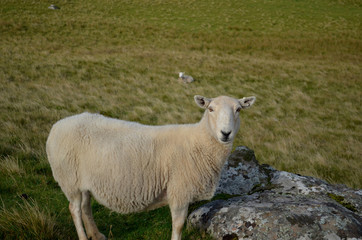 Sheep Standing in the Field at Neist Point in Scotland