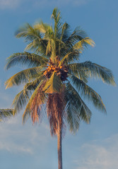 A lone coconut tree with ripe fruits is in the rays of the setting sun. Village of Candidasa, Bali, Indonesia