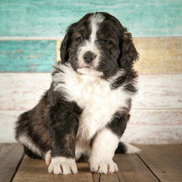 Adorable bernedoodle puppy