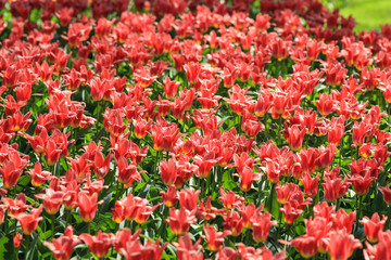An abundance of red tulips with yellow buttoms