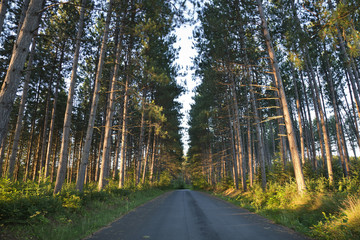 Tall pines and road in early morning light in northern Minnesota