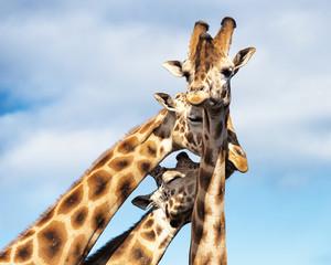 A Trio of Cuddling Giraffes