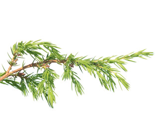 Branch of juniper (Juniperus communis) isolated on white background. Branch with green needles