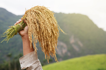 Thai farmer holding rice tree in rice field. Thailand. Agriculture concept.