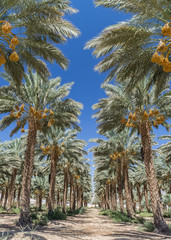 Plantation of date palms with ripening fruits