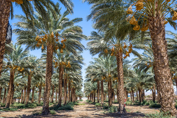 Date palms with ripening fruits. Desert agriculture of the Middle East