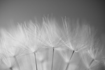 soft spring macro dandelion pistils as black and white abstract background highlighted