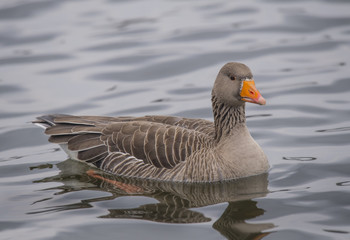 Greylag goose swimming on a loch, close up