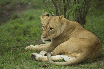 leonessa a riposo