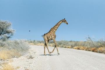 Angolan giraffe (Giraffa camelopardalis) running across the gravel road in savannah of Etosha national park, Namibia.