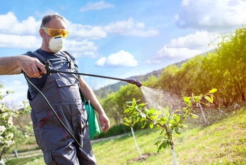 gardener applying an insecticide, fertilizer to his fruit  using a sprayer