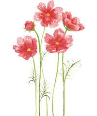 cosmos flower watercolor.