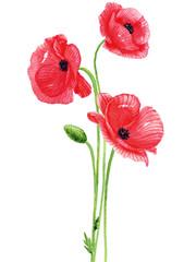 poppy flowers watercolor.