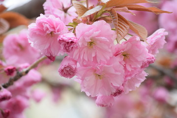 Spring. The clear blue sky. In Germany, bloomed pale pink, Japanese beauty beautiful Sakura. The trees share a beautiful pink dress, and the earth strewn with rose petals as a carpet.