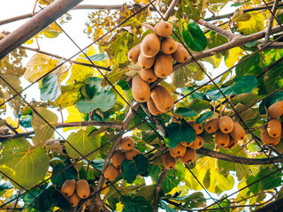 The kiwifruit on a tree. Liana tree kiwi hover on the grape arbor. Nearly ripe fruit in Montenegro.