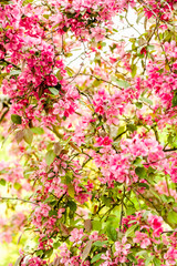 Wild Apple Blossom with pink color in front of a bright background
