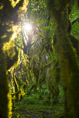 Boxwood mossy trees with sunlight