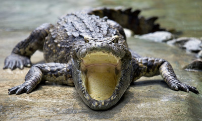 open mouth crocodile on the floor in the farm