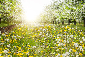 Spring apple trees and flowers in bright sunlight