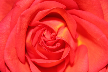 Background of bud of red rose, horizontal view.