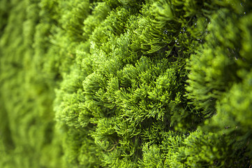 Lush foliage of Cypress background texture