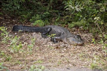 Alligator in the Florida Everglades National Park