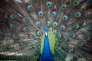 Portrait of beautiful male peacock