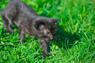 Black kitten in green grass