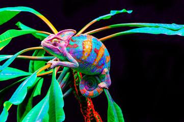 Yemen chameleon isolated on black background