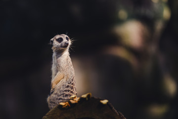 One meerkat standing over a tree trunk