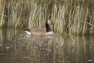 Canada Goose on a loch