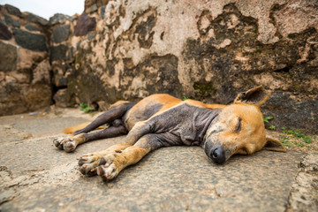 Sleeping dog against grunge wall, Ceylon landscape