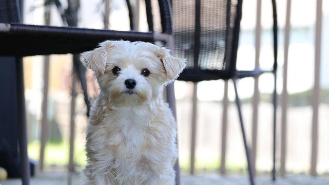 Cute white morkie dog