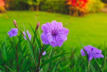 Beautiful purple flower on nature background.Purple rain flower.Ruellia tuberosa Blue-violet color and leaf