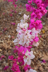 Burma Burmese Myanmer Flower Flowers White Pink Bagan Nature Summer Blossom Blossoms South East Asia Asian Southeast