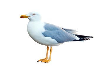 mediterranean herring gull (Larus michahellis)