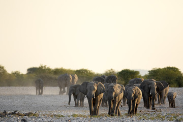 Elephants coming in to a water hole.