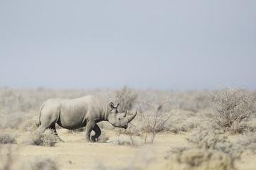 Black Rhino walking through the veldt